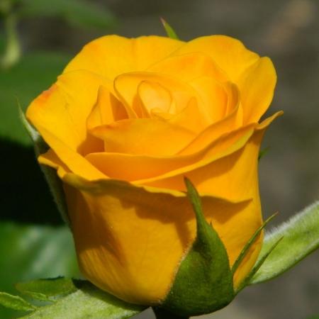 "Роза чайно-гибридная ""Керио""\""Kerio"""