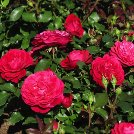 Розы флорибунда Монализа