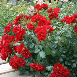 Роза почвопокровная Альпенглюхер