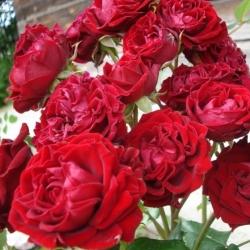 Роза флорибунда  Лаваглут