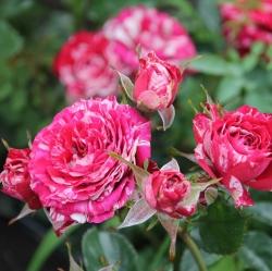 Роза миниатюрная Арроу Фолиес