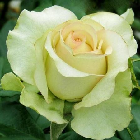 """Роза чайно-гибридная """"Киви"""""""