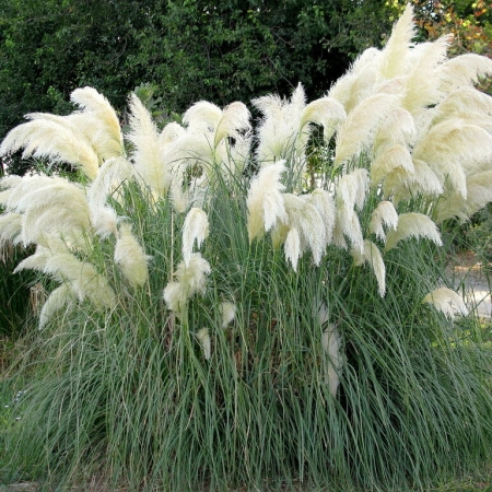 Соргатум (Индийская трава)