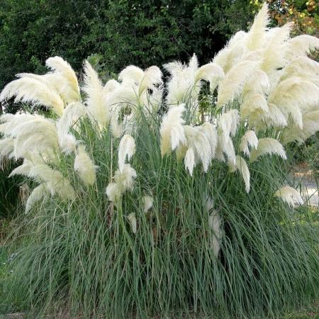 Кортадерия (пампасная трава)