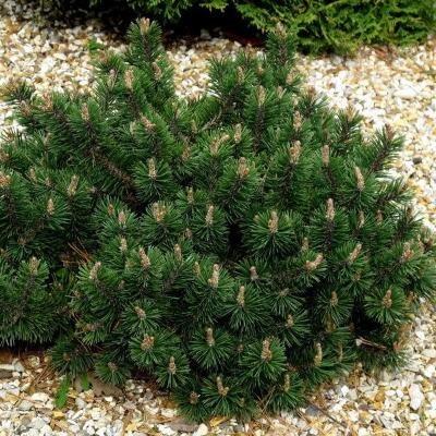 """Сосна горная """"Хампи""""/Pinus mugo """"Humpy"""""""