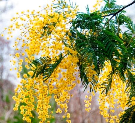 Мимоза- желтая акация