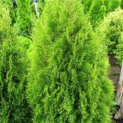 Туя западная Ауреоспиката\Thuja occidentalis Aureospicata