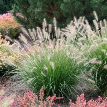 Пеннисетум лисохвостовый Hameln \ Pennisetum alopecuroides Hameln