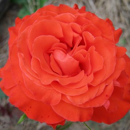 """Роза чайно-гибридная """"Анжелика"""""""