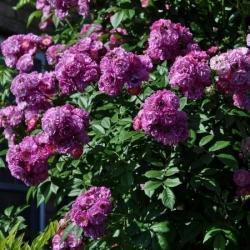 Роза почвопокровная Перенниал Блю