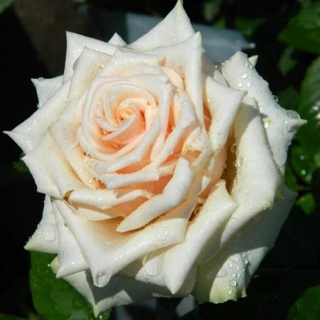 Роза чайно-гибридная Талея