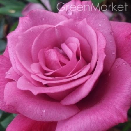 Роза плетистая Блу Босс