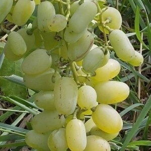 "Виноград ""Миллениум"""