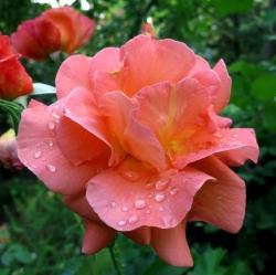 Роза Вестерленд (шраб)