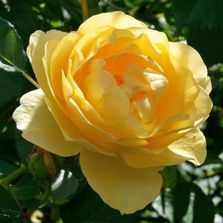 Роза Голд Штерн (шраб)