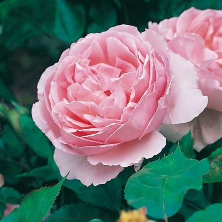 Роза английская Brother Cadfael