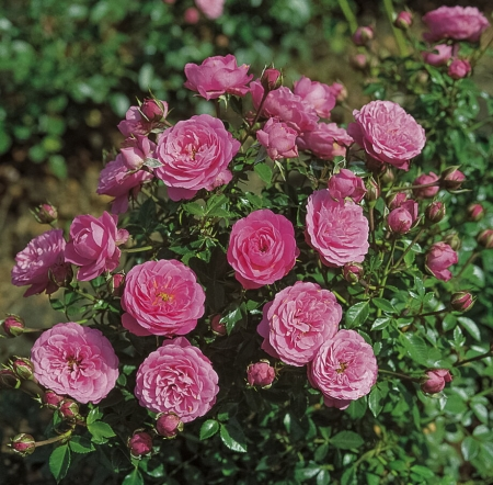 Роза бордюрная Амулет