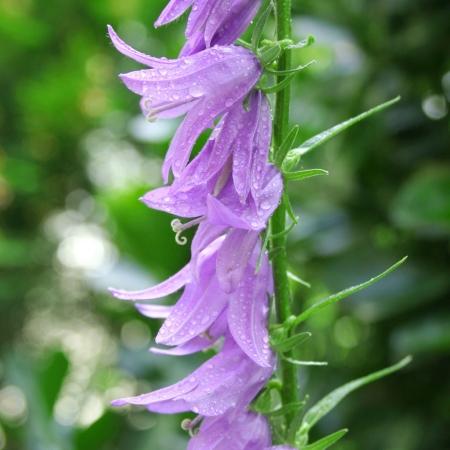 Колокольчик широколистный / Campanula latifolia L.