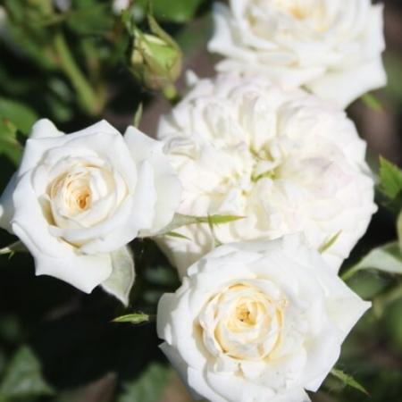 """Роза миниатюрная """"Литл Вайт Пэт""""\""""Little White Pet"""""""
