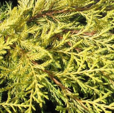 Можжевельник средний Мордиган Голд \ Juniperus media Mordigan Gold