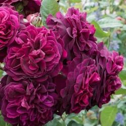 Роза английская Munstead Wood