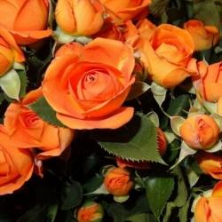 Роза спрей/миниатюрная Бейби оранж/Baby Orange (контейнер)