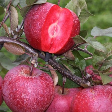 "Яблоня красномясая ""Ред девил"""