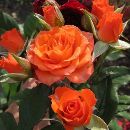 Роза бордюрная Патио Оранж