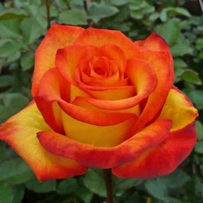 Роза чайно-гибридная Солнышко