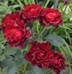 Роза бордюрная, спрей  Таманго