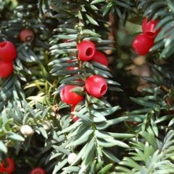 Тис ягодный\Taxus baccata 3г (40-60см)
