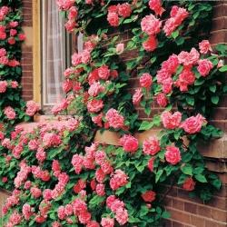 Роза плетистая Барби