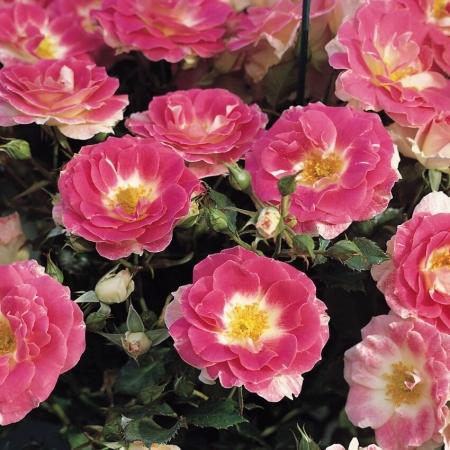 Роза флорибунда Патио Регенсберг