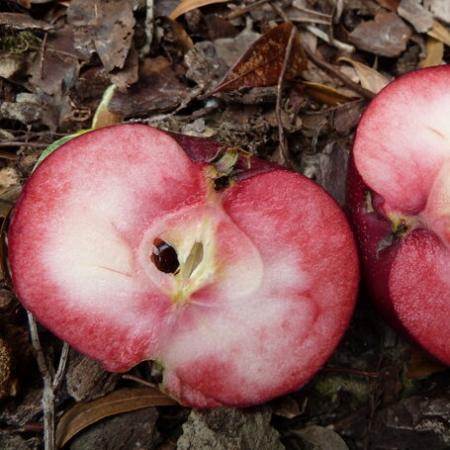 "Яблоня красномясая ""Розетта"""