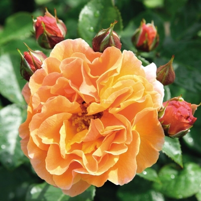 Роза шраб Арабия