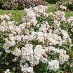 Роза плетистая Пенелопа