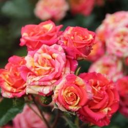 Роза миниатюрная Fire Flash/Файер Флеш