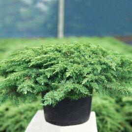 Можжевельник Грин Карпет (Green Carpet)