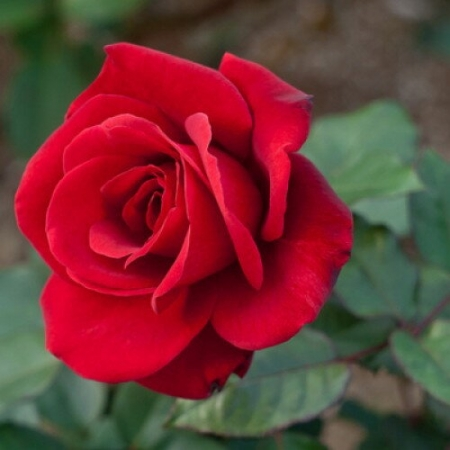 Роза чайно-гибридная Бычьи Глаза