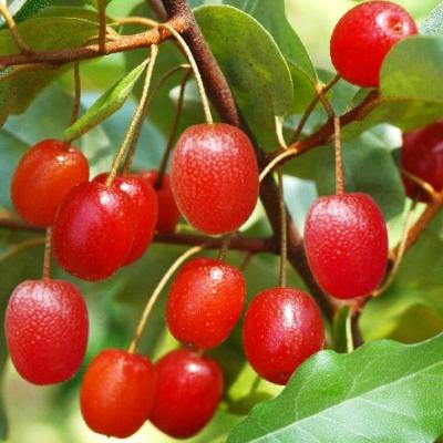 Гуми (Гумми, Лох многоцветковый)