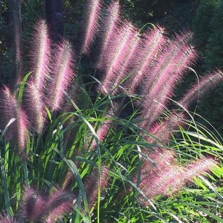 Пеннисетум лисохвостовый Red Head \ Pennisetum alopecuroides Red Head
