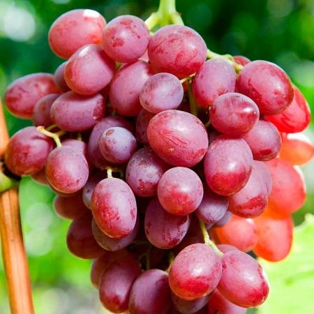 """Виноград """"Ливия"""""""