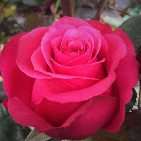 Роза чайно-гибридная Чери Лайф