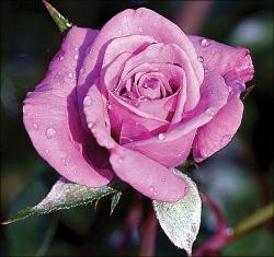 Роза миниатюрная Лавендер Джуэл