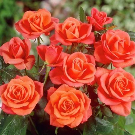 Роза чайно-гибридная Супер Стар