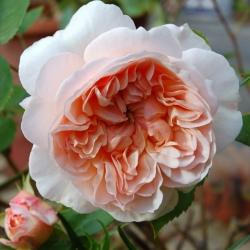 Роза английская Эвелин (шраб)