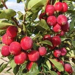 Колоновидная райская яблоня