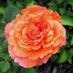Роза чайно-гибридная Этруска