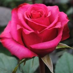 Роза чайно-гибридная Равель
