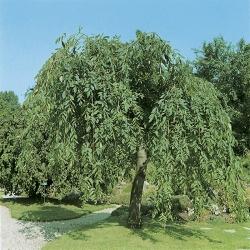 Ясень обыкновенный Пендула\Fraxinus excelsior Pendula